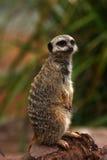 Meerkat Landsitz Lizenzfreie Stockfotografie