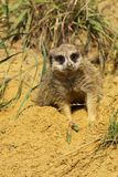 Meerkat laying in the sand and looking at you Stock Image