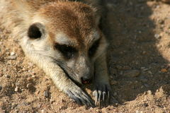 Meerkat. Laying on sand in Prague Zoo Royalty Free Stock Image