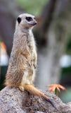 Meerkat levantesi in piedi Fotografia Stock