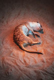 The meerkat lies on the sand in the zoo.  Royalty Free Stock Photo