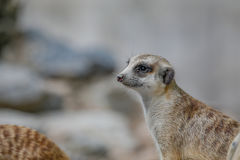 Meerkat Live In Open Zoo. Royalty Free Stock Photography