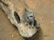 Meerkat on a Log. An attentive meerkat rests on a log Royalty Free Stock Image