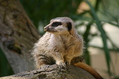 Meerkat on log Royalty Free Stock Images