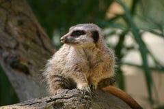 Meerkat on log Royalty Free Stock Images