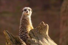 A Meerkat on a log Stock Photos