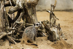Meerkat in the Logs Stock Images