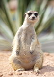 Meerkat. Lonely meerkat sitting and lookout in nature Royalty Free Stock Photos