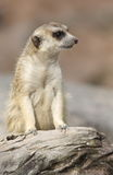 Meerkat. Lonely meerkat sitting and lookout in nature Royalty Free Stock Images