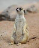 Meerkat. Lonely meerkat sitting and lookout in nature Stock Image