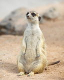 Meerkat. Lonely meerkat sitting and lookout in nature Stock Images