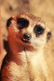 Meerkat look. Ing straight on to you Royalty Free Stock Photo
