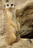 Meerkat Looking. At the camera royalty free stock photos