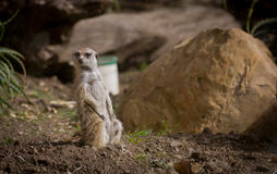 Meerkat Looking. Watchful Meerkat looking for food Royalty Free Stock Photo