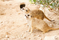 Meerkat  looking alert for guard Stock Photography