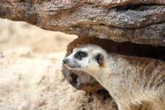 Meerkat is looking alert Stock Photos