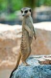 Meerkat looking around Royalty Free Stock Images
