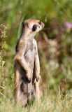 Meerkat looking around Royalty Free Stock Photography