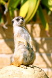 A meerkat looking around. A meerkat, standing on its hind legs, looks around stock photos