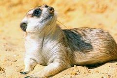 A meerkat looking around. A meerkat, lying on his belly, looks around royalty free stock image
