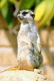 A meerkat looking around. A meerkat, standing on its hind legs, looks around Royalty Free Stock Image