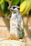 A meerkat looking around. A meerkat, standing on its hind legs, looks around royalty free stock image