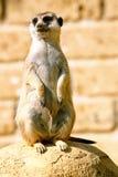 A meerkat looking around. A meerkat, standing on its hind legs, looks around stock photo