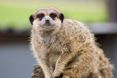 Meerkat. Looking around Royalty Free Stock Photography