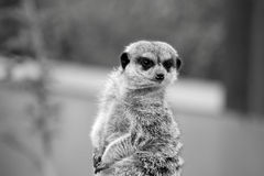 Meerkat. Looking around Royalty Free Stock Image