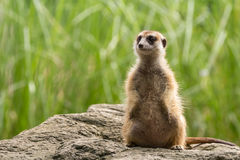 Meerkat looking around Royalty Free Stock Images