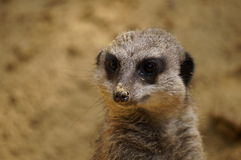Meerkat looking around Stock Image