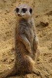 Meerkat looking around Stock Photo