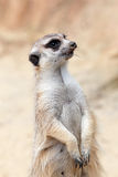 A meerkat looking around Stock Images