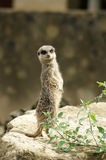 Meerkat looking at camera Royalty Free Stock Photo