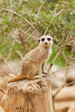 Meerkat looking at the camera Stock Photos