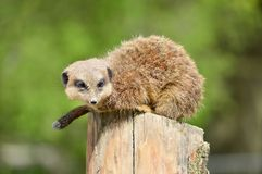 Meerkat looking for food. A meerkat balancing on a pole, looking for food Royalty Free Stock Image