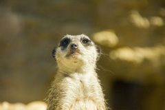 Meerkat looking nosy Royalty Free Stock Photos