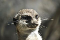 Meerkat looking out for danger stock photography