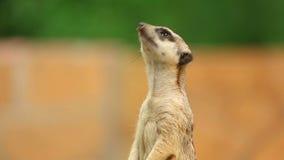 Meerkat. stock video