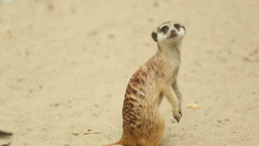 Meerkat looking out