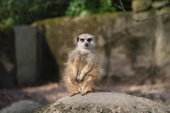 Meerkat. Looking out for danger and ready to signal an alarm Royalty Free Stock Image