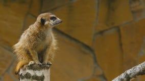 Meerkat looking out for danger stock video