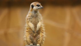 Meerkat looking out stock video footage