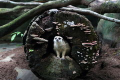 Meerkat 1. Meerkat looking out from a hollow fallen tree log Royalty Free Stock Image