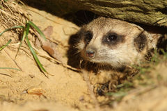 Meerkat looking out of its burrow Royalty Free Stock Photos