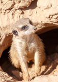 Meerkat looking out from a mink Stock Image