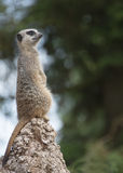 Meerkat. Looking out over territory Royalty Free Stock Photo