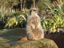 Meerkat sitting in the sun royalty free stock photo