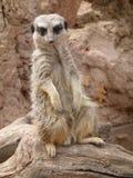 Meerkat sitting in the sun stock images