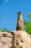 Meerkat looking out at the zoo Royalty Free Stock Images